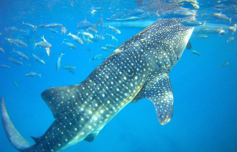 Whale Sharks in Whale Shark – Aguinid Falls Tour