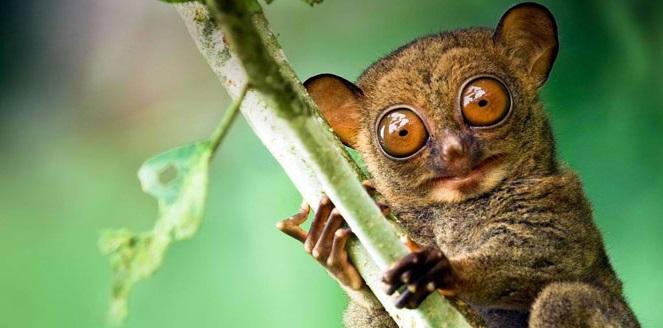tarsiers in Bohol