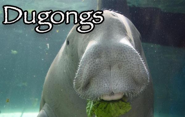 Coron Dugong watching