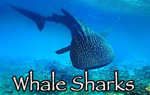 Whale sharks adventure